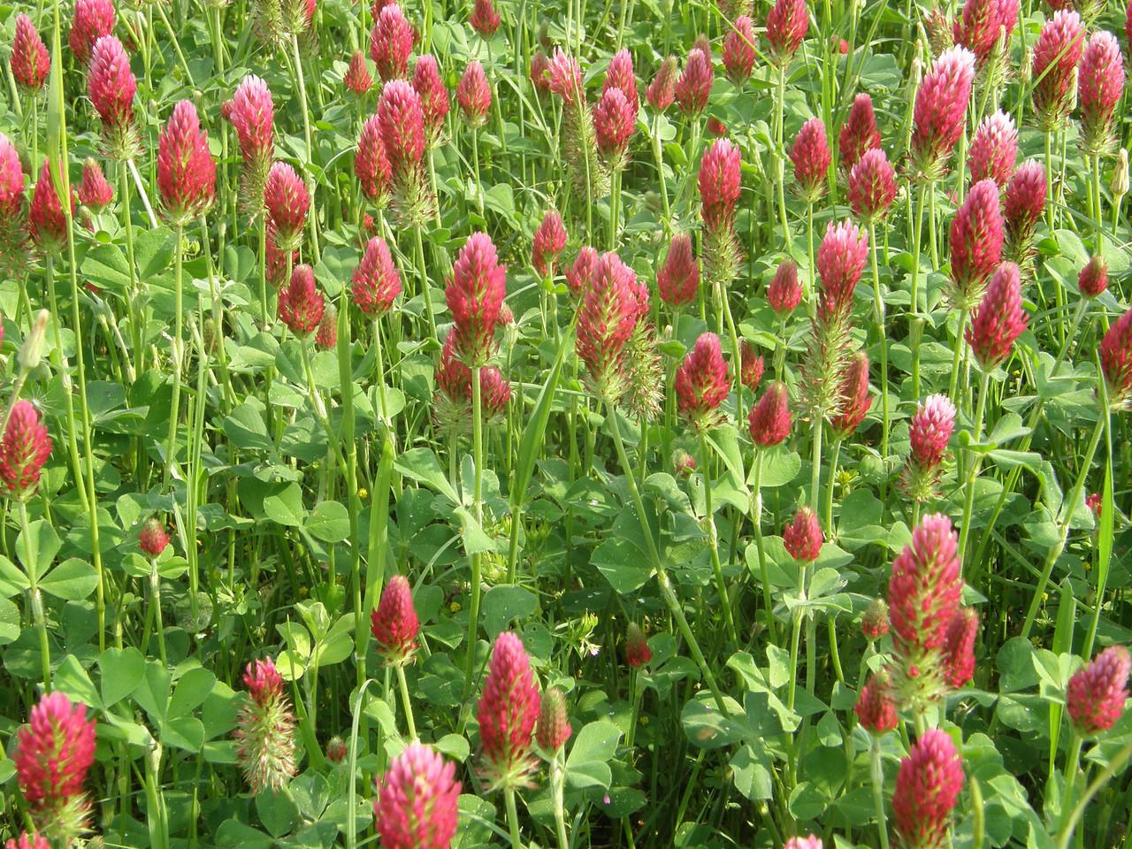 Field of clover.
