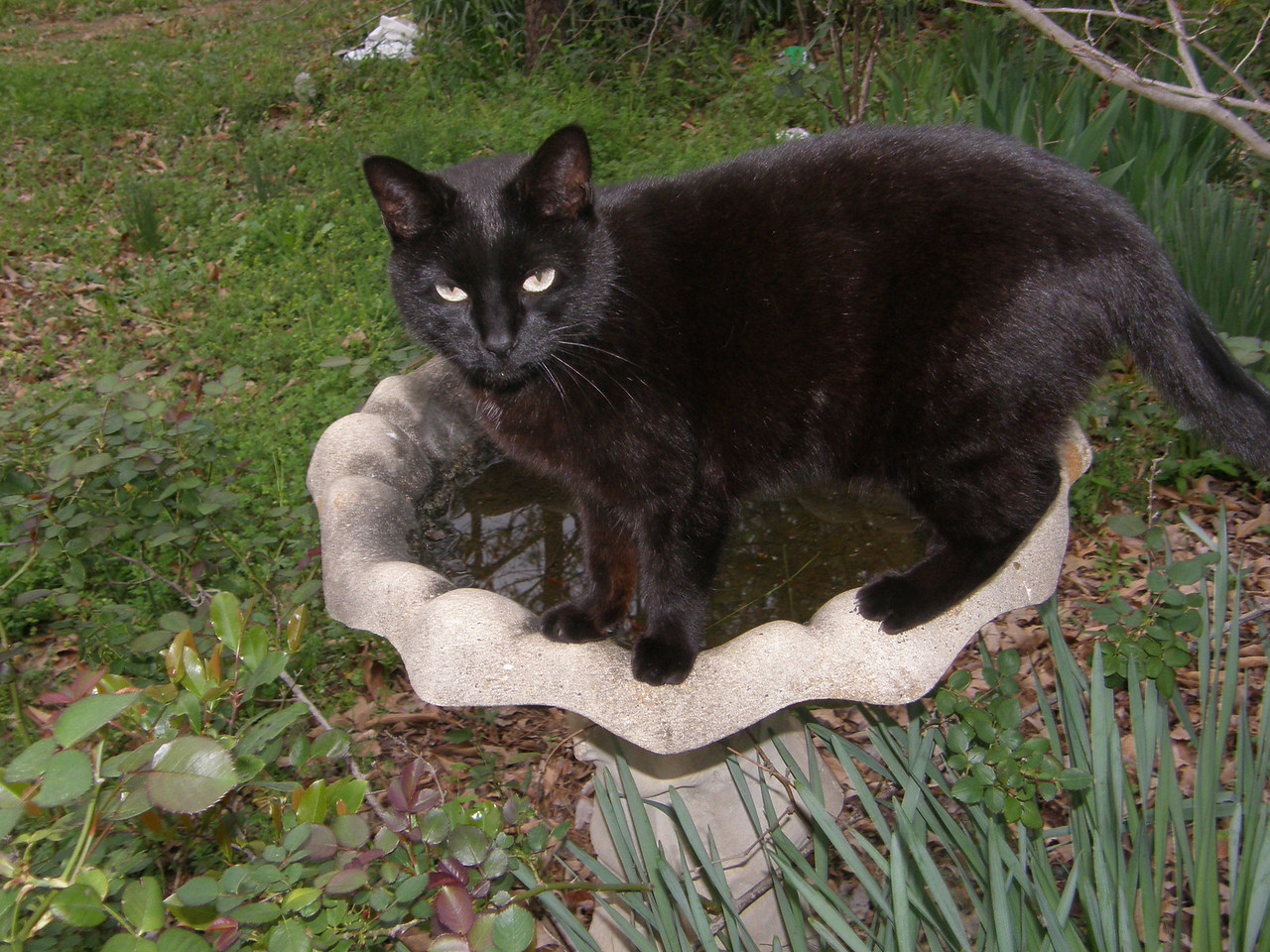 Salem, takes a pause while drinking from the bird bath.