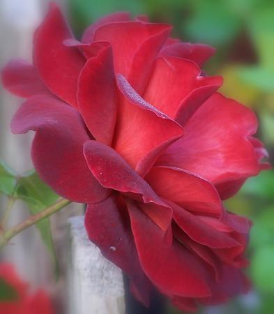 Ravashing Roses