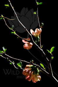 Midnight Garden  Flowers pictured :: Quince  Flowers provided by :: Babylon Floral  030616_016121 ICC sRGB 16x24