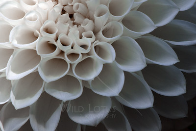 Perceiving Emptiness  Flower pictured :: Dahlia  Flower provided by :: Tend Home & Garden  101115_015232 ICC sRGB 16x24