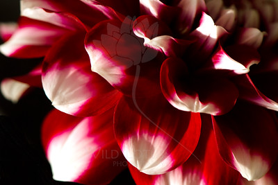 Peppermint  Flower pictured :: Dahlia  Flower provided by :: Babylon Floral  100215_015118 ICC sRGB 16x24