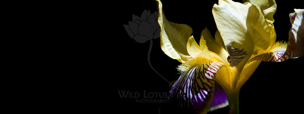 Painted Lady  Flower pictured :: German Iris  Flower provided by :: Tagawa Gardens  061415_009615 ICC sRGB 15x40 pic