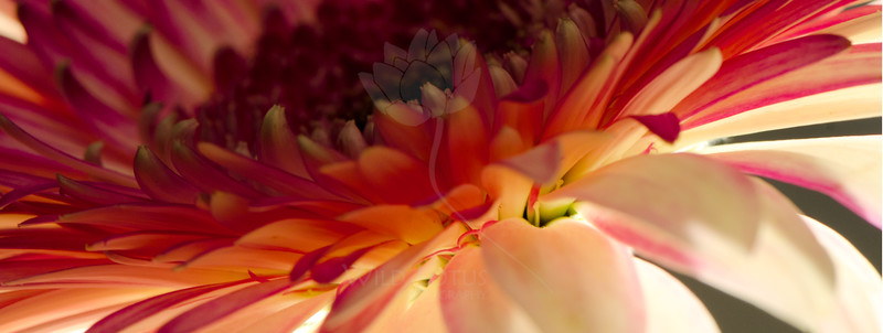 Flower pictured :: Gerbera Daisy  Flower provided by :: Babylon Floral  012316_015881 ICC sRGB 9x24