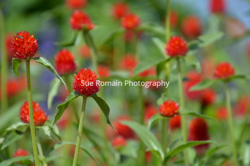 Red Pom Pom Flowers