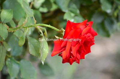 Red Rose Beauty