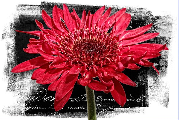 Red Gerbera Daisy with Custom Textures