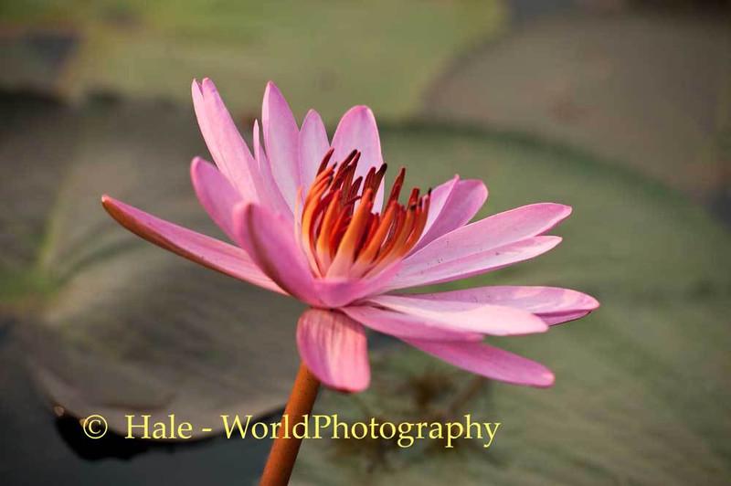 Nymphaea Lotus Bloom