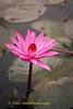 Thale Bua Daeng Bloom