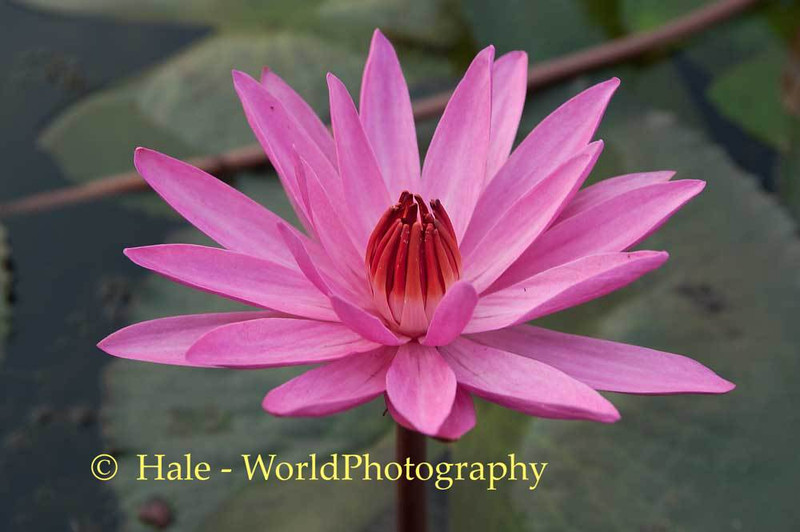 Red Lotus Bloom