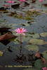 February Thale Bua Daeng Flower - Nymphaea Lotus