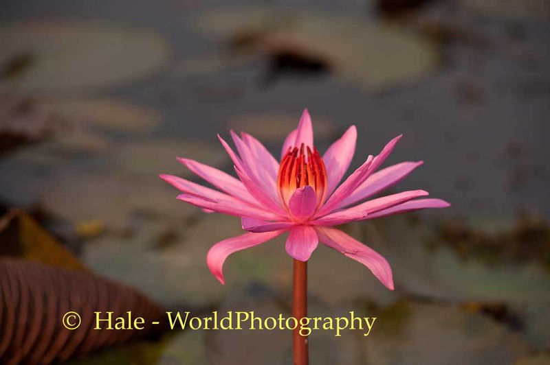 Nymphaea Lotus (Red Lotus) Bloom