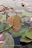Red Lotus Plant