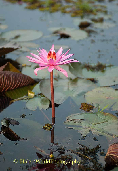 Thale Bua Daeng Flower