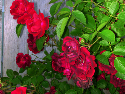 Red Rose by Richard Lazzara
