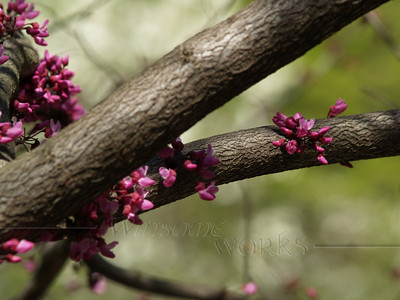 "Cercis canadensis ""Forest Pansy"" (redbud) with white dogwood blurred in background"