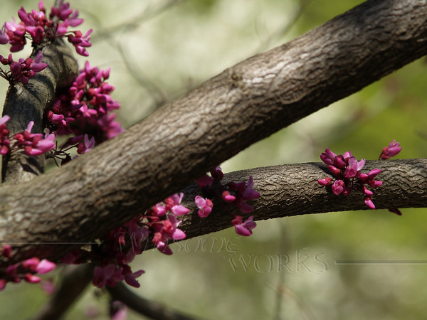 "Cercis canadensis ""Forest Pansy"" (redbud) with glow of white dogwood behind"