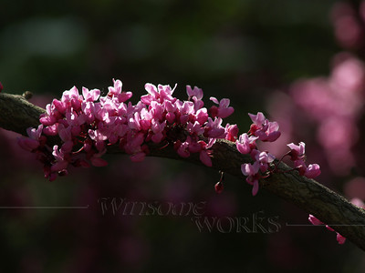 """Cercis canadensis """"Forest Pansy"""" (redbud)-- Bucks County, PA"""