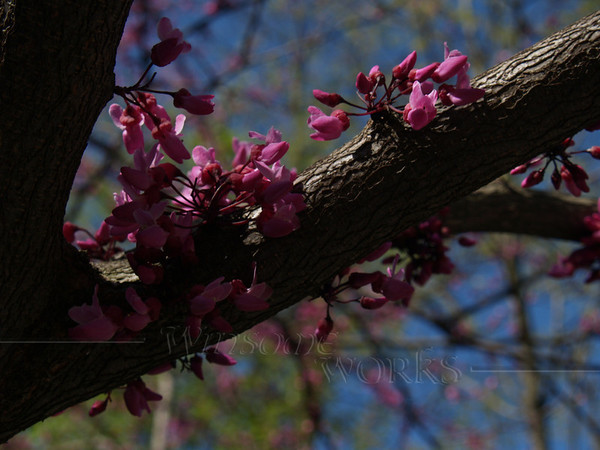 "Cercis canadensis ""Forest Pansy"" (redbud)"