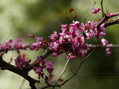 "Cercis canadensis ""Forest Pansy"" (redbud) -- Bucks County, PA"