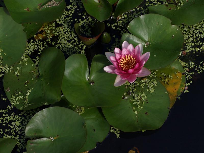 Lily, Kenilworth Aquatic Gardens, Washington, DC