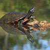 Turtle, Kenilworth Aquatic Gardens, Washington, DC