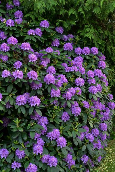 Rhododendon