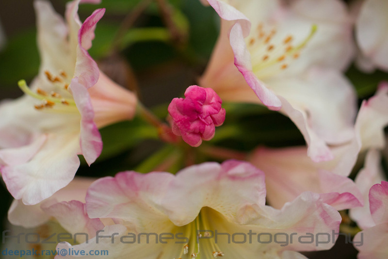Rhododendron<br /> Dexter's Peppermint<br /> Rhododendron<br /> Dexter's Peppermint
