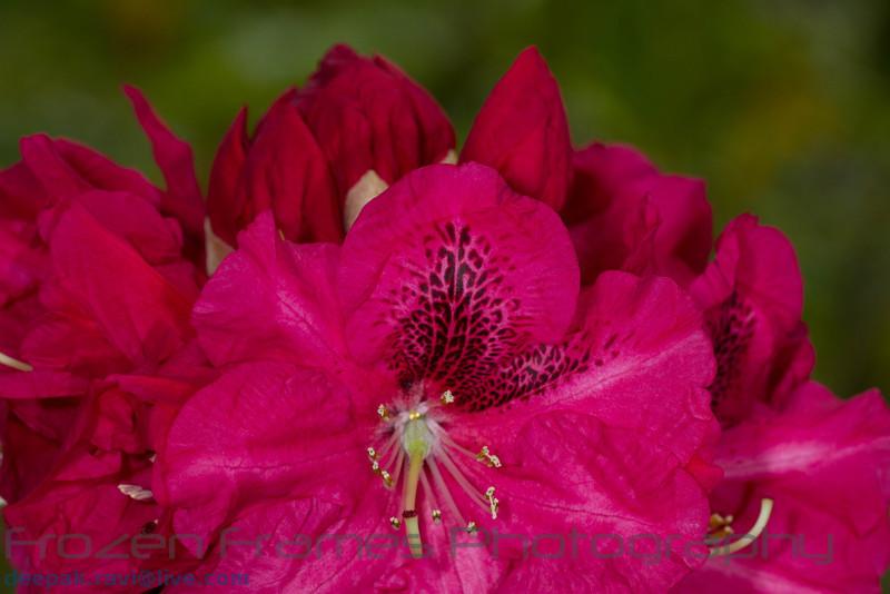 Rhododendron<br /> True Treasure<br /> Rhododendron<br /> True Treasure