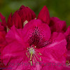 Rhododendron<br /> True Treasure<br /> Rhododendron<br /> True Treasure