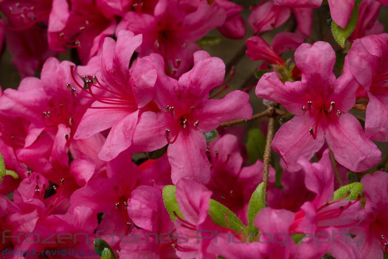 Rhododendron calendulaceum<br /> Flame Azalea<br /> Rhododendron calendulaceum<br /> Flame Azalea