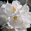 Rhododendron garden-0742