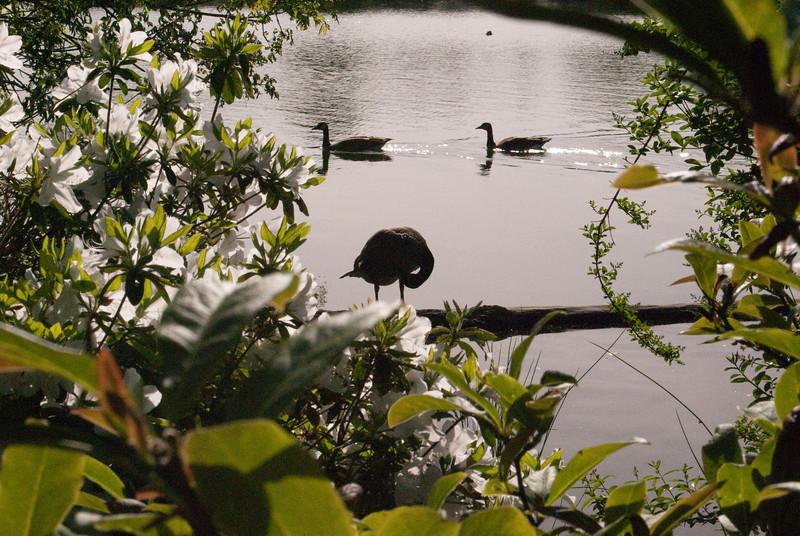 Oregon swans