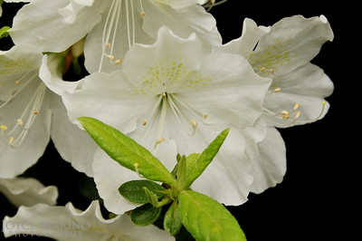 White Rhododendrons -- DSC_2903