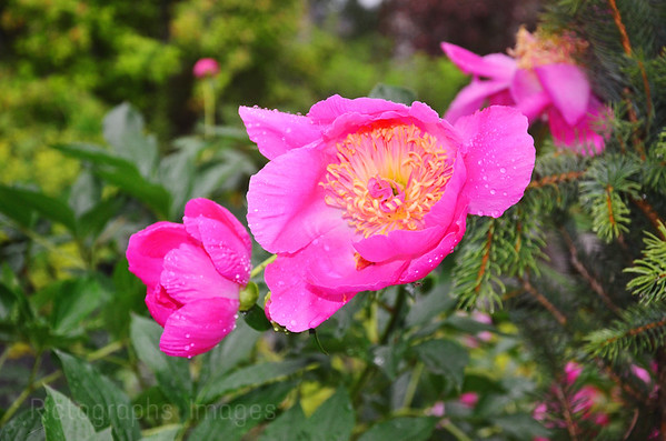 Garden Pink Peony