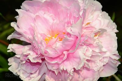 Beautiful, Pink Peony