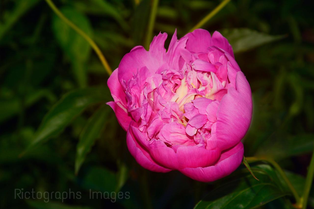 Pink Garden Peony