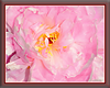 Framed Pink Peony
