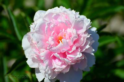 Pink Peony, Garden Cultivar