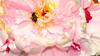 Bee & Pink Peony
