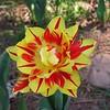 Double Tulip 2