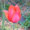 Single tulip 1