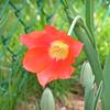 Single tulip 2