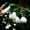 """""""White coral bells upon a slender stalk"""""""