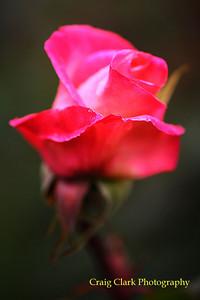 Rose 9126