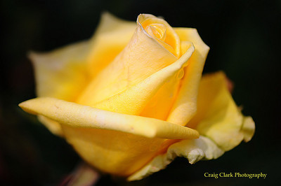 Yellow Rose 9085