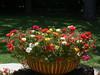 Moss Rose2