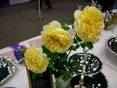 Collection of Three Modern Shrub Roses:'Golden Celebration', english rose from hybridizer David Austin