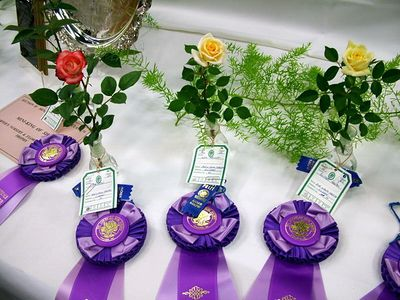 Highest award for individual miniature roses: King 'Kristin' , Queen 'Sam Trivitt' and Princess 'Butter Cream'
