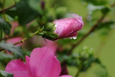 Pink Hibiscus with raindrop -- DSC_9588
